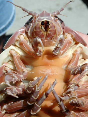 Isopod